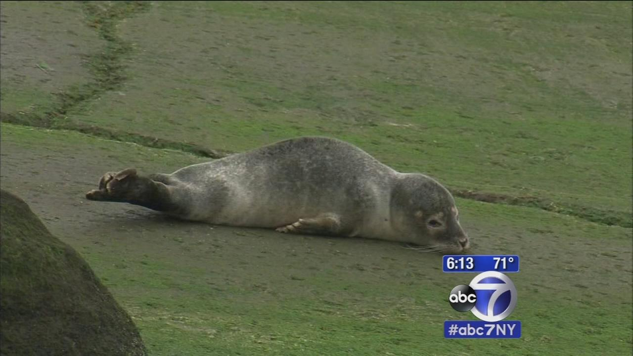 Baby seal causes quite a sight in Queens