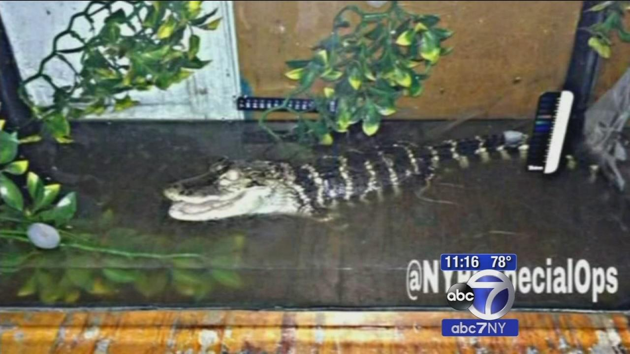 Snakes Alligator Recovered In Brooklyn Apartment 1 Under Arrest Abc7ny