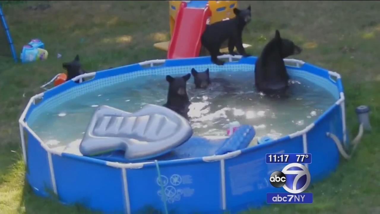 Video family of bears frolic at wild pool party in rockaway township new jersey for Bears in swimming pool new jersey