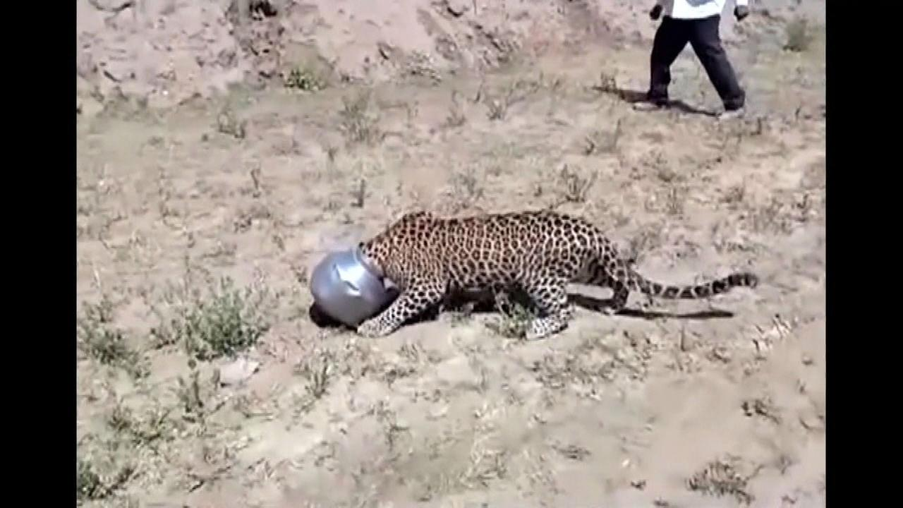 Thirsty Leopard Wanders Into Indian Village, Gets Head Stuck in Pot