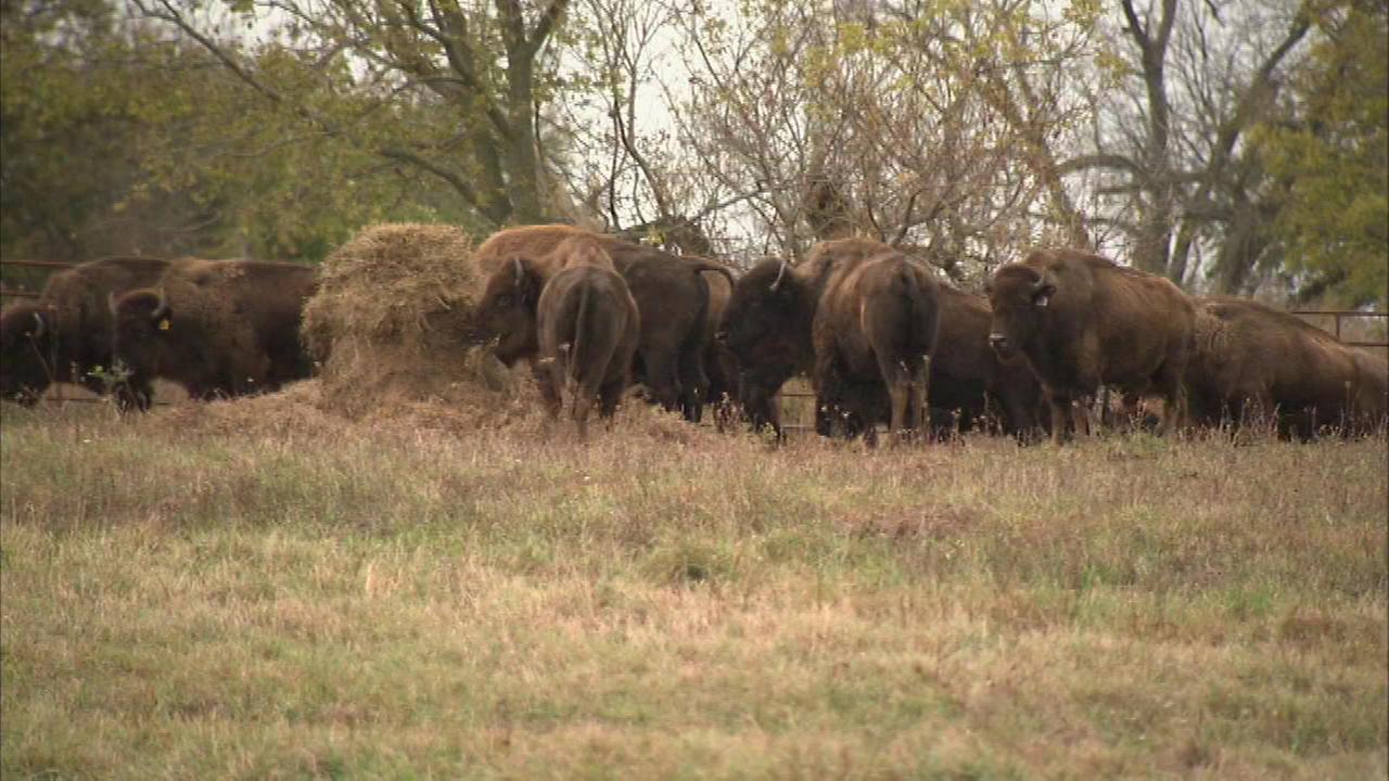Herd of bison roam free at Midewin National Tallgrass Prairie