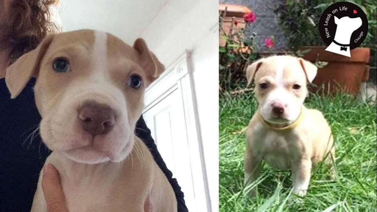 A reward is being offered for the safe return of a puppy that was stolen from a Chicago home.