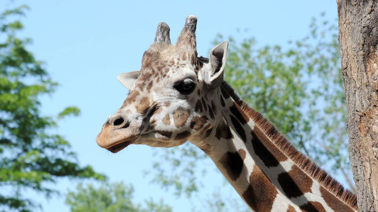 Franny the giraffe at Brookfield Zoo.