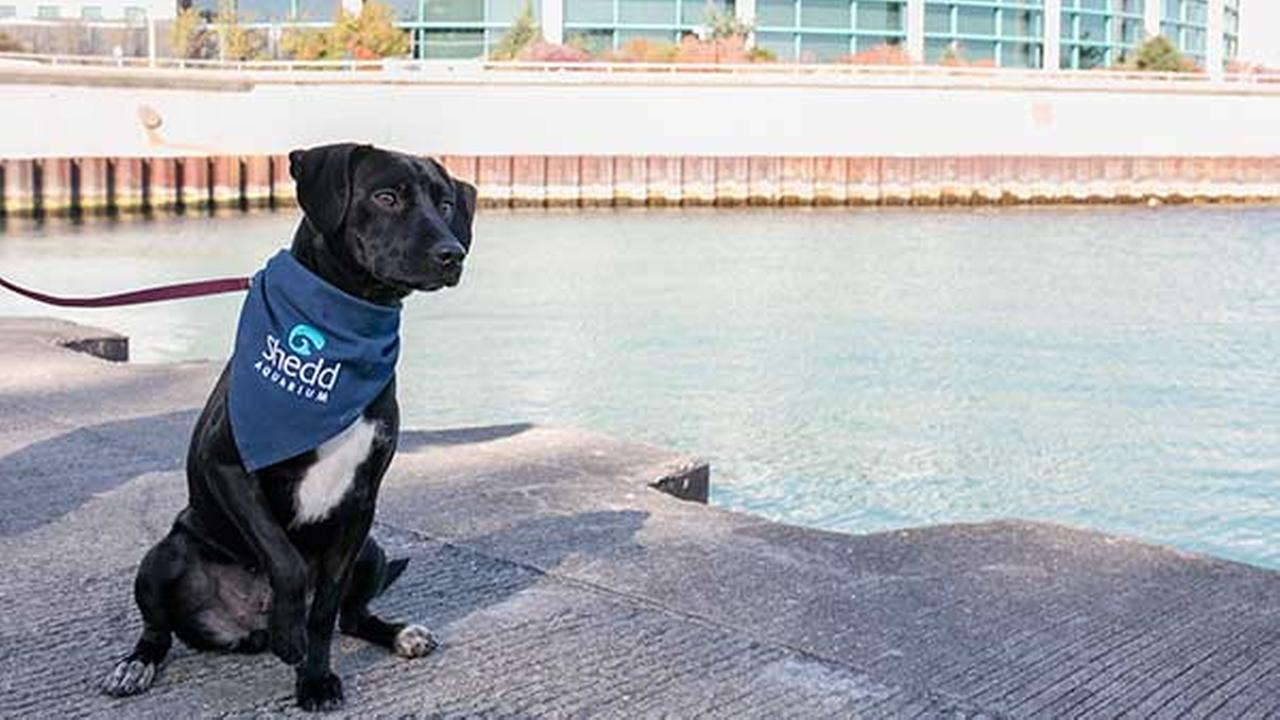 Chicagos Shedd Aquarium has welcomed its newest rescue dog, a 10-month-old dachshund/terrier mix named Peach.