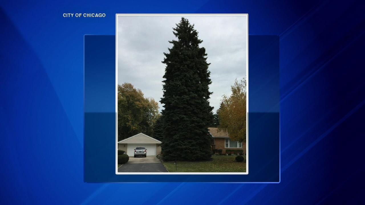 This years tree for the City of Chicago is a 63-foot tall Colorado Bruce, donated by the Voelker family in Northlake.