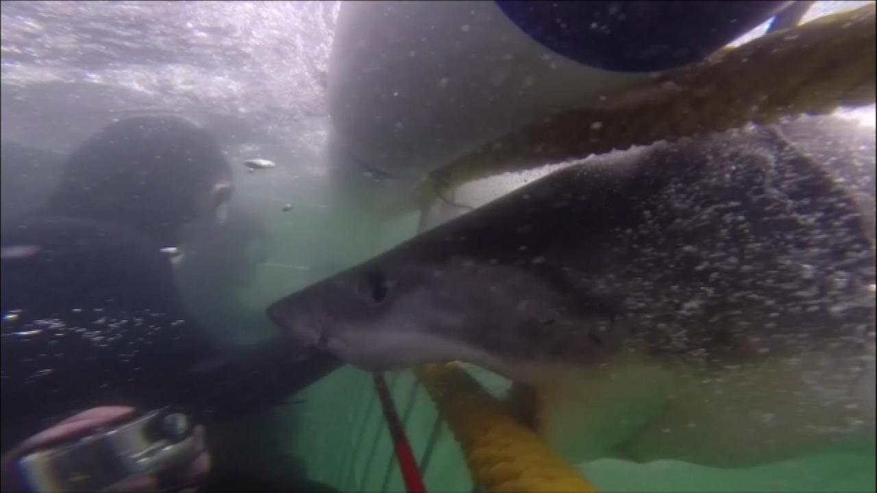 A young great white shark was caught on camera as it rammed an underwater cage with divers inside.