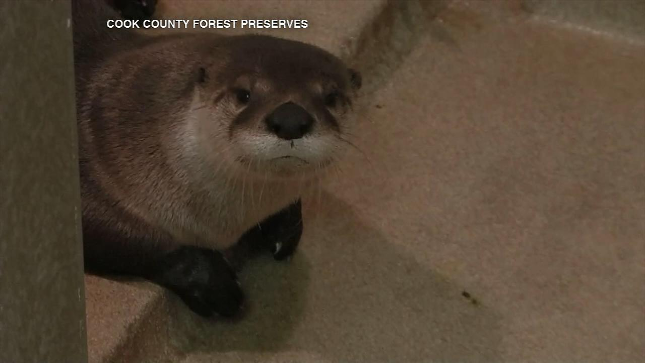 A river otter has returned to a Cook County forest preserve equipped with a bit of technology.