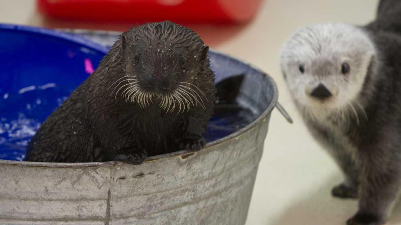 Authorities determined she could not be released in the wild, so she was sent to Shedd Aquarium, where she was the first Southern sea otter.