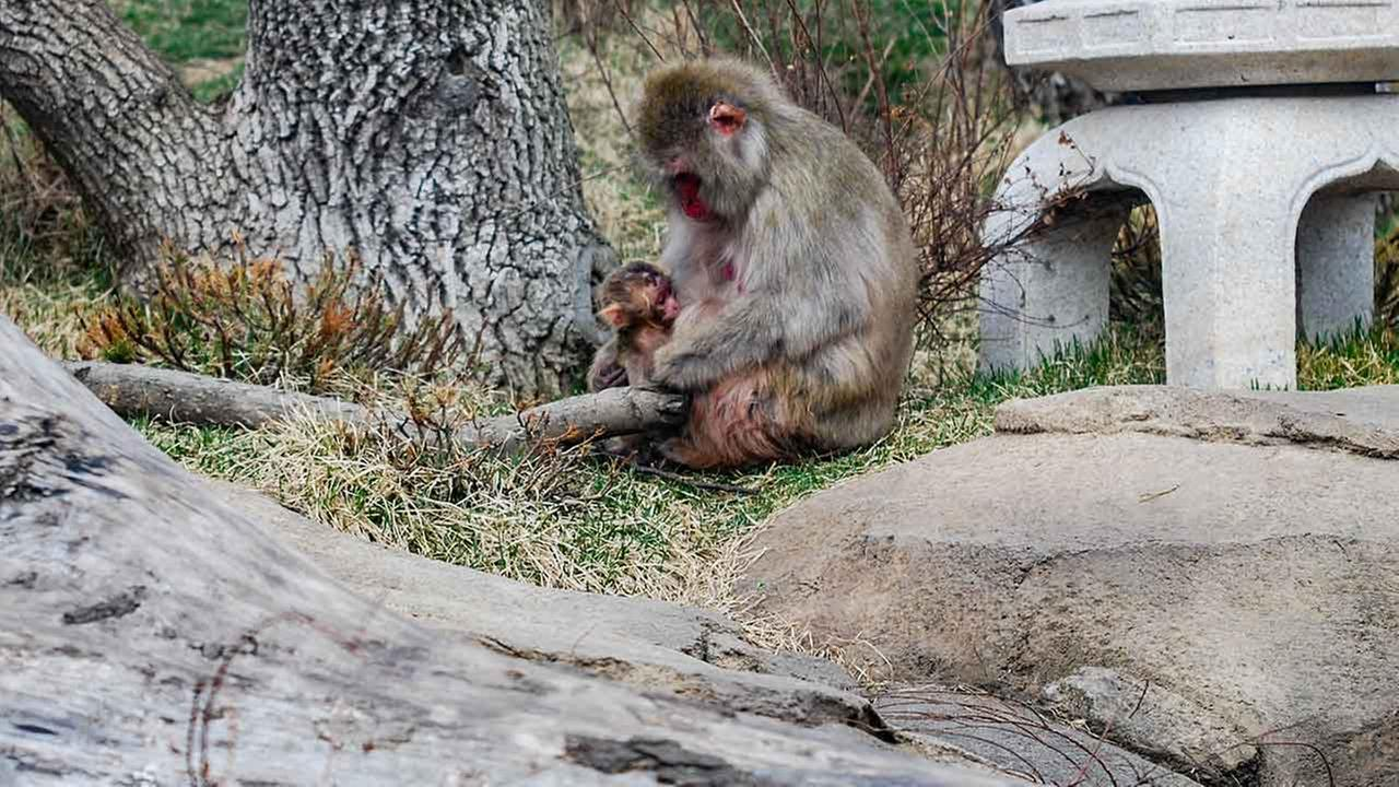 A baby snow monkey was born to mom Izumi at the Lincoln Park Zoo in Chicago.