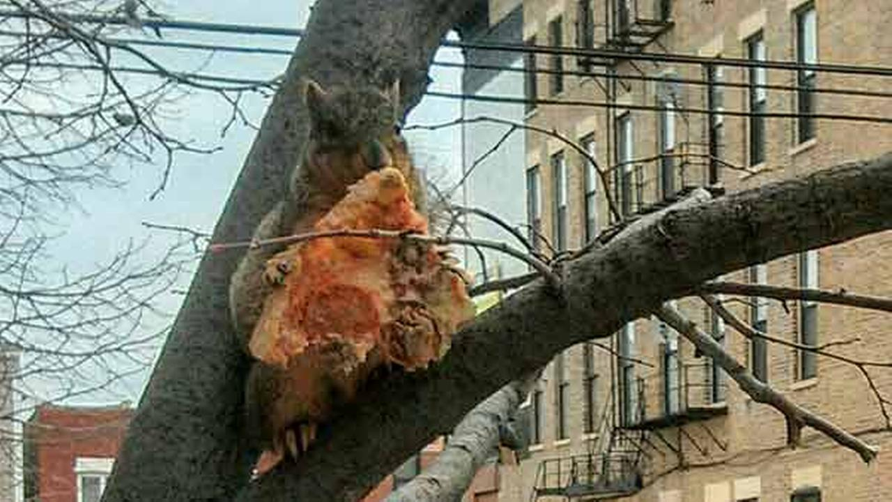 pizza squirrel
