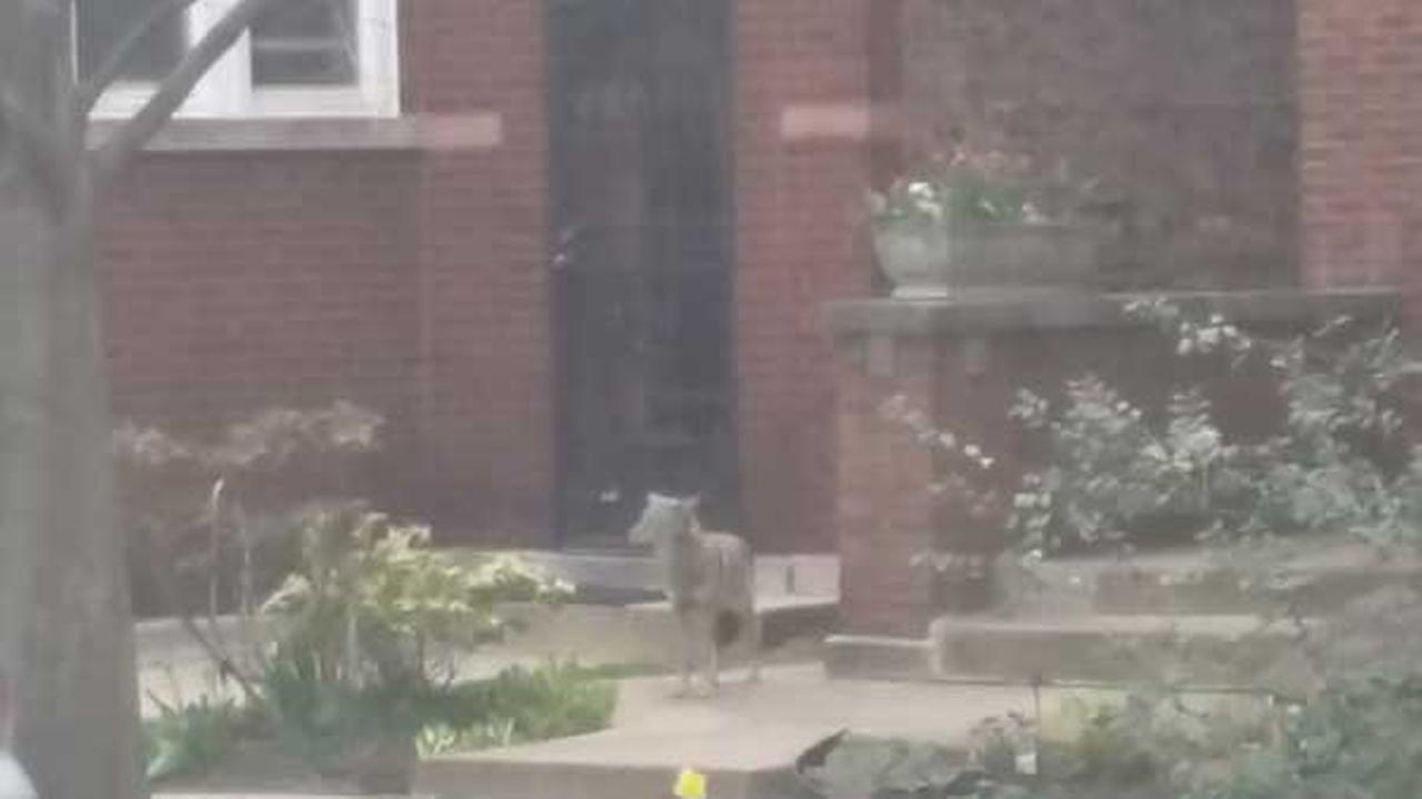 ABC7 viewer Patrick Connor shared a photo of a coyote wandering in the Lincoln Square neighborhood on April 20, 2016.