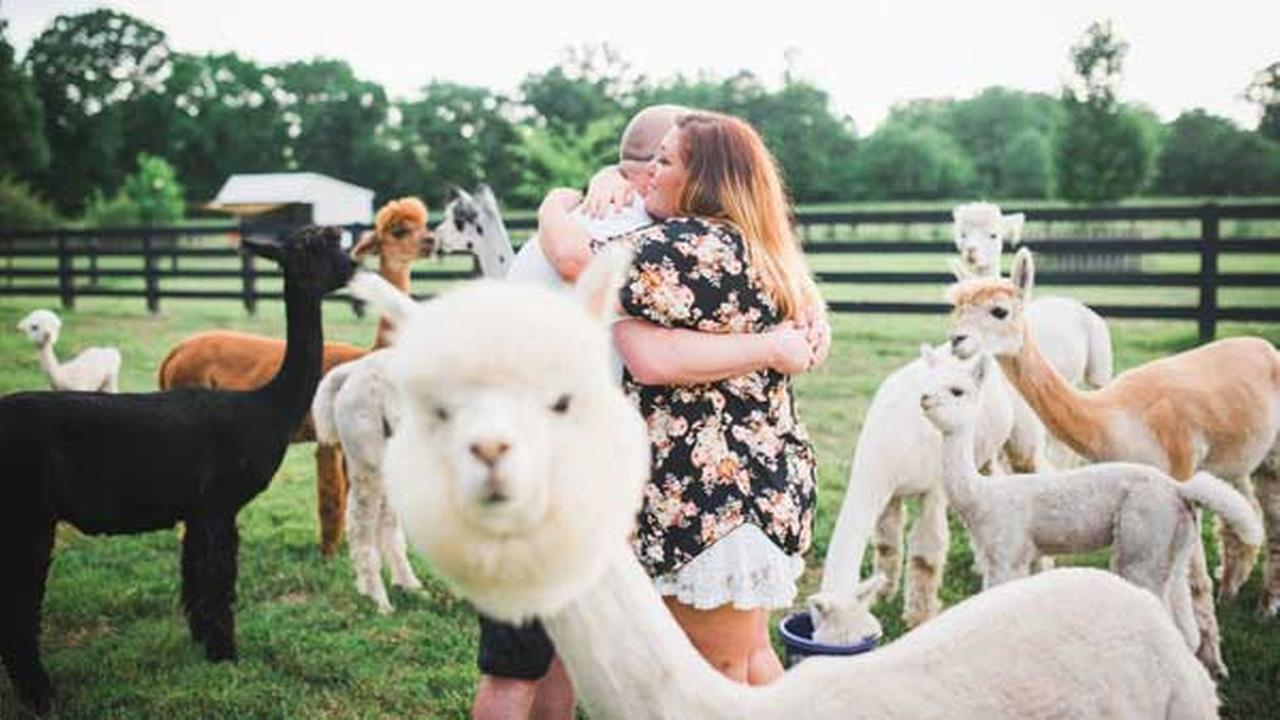 A herd of alpacas photobombed a couples surprise engagement photo shoot at a farm in Tennessee over the weekend.