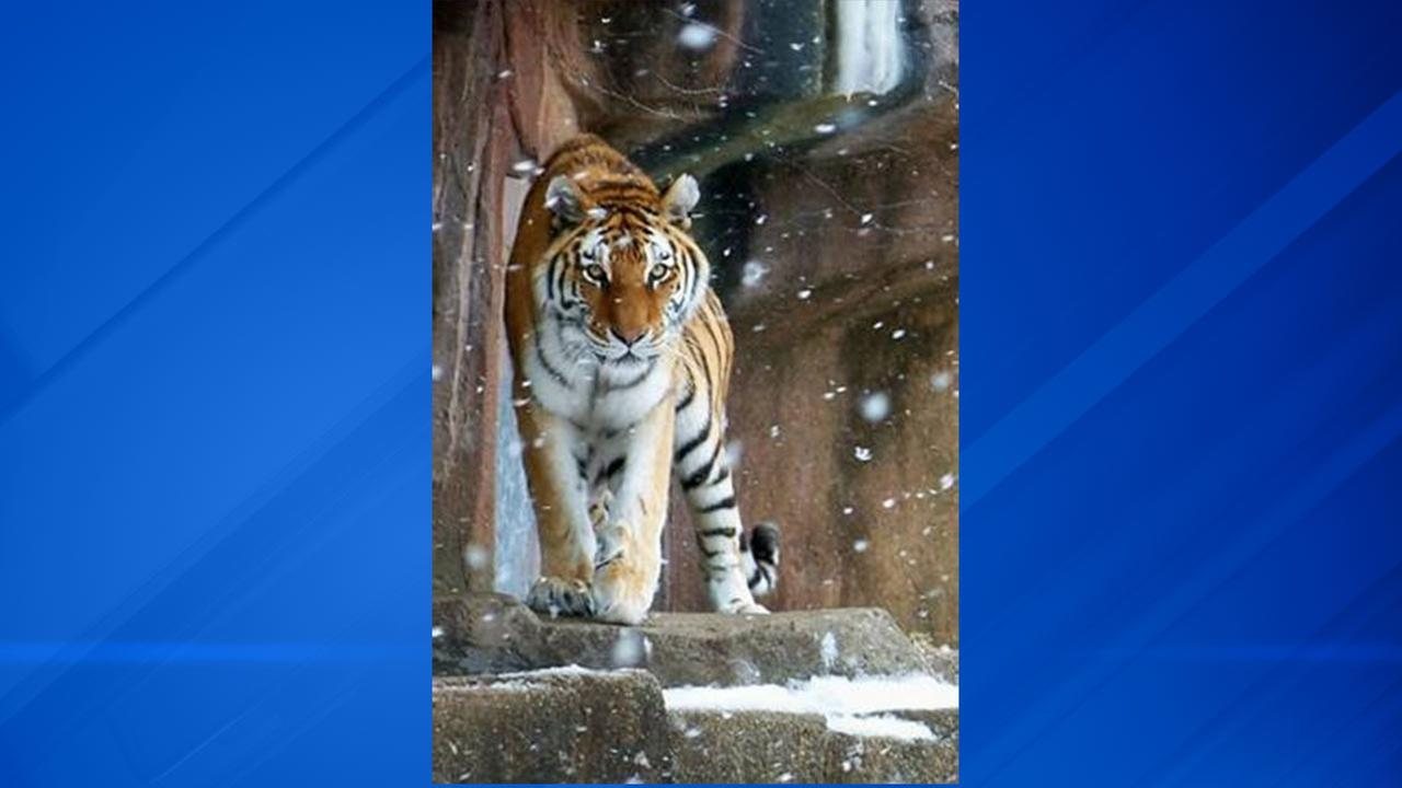 Mollly, an 18-year-old Amur tiger, was euthanized at the Lincoln Park Zoo.
