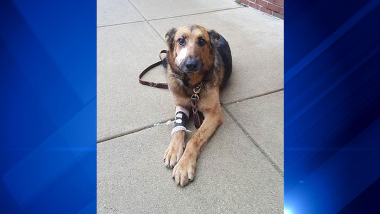 Blade, a Lake County sheriffs department K-9 officer, was shot during a foot chase Wednesday in Gary, Indiana.