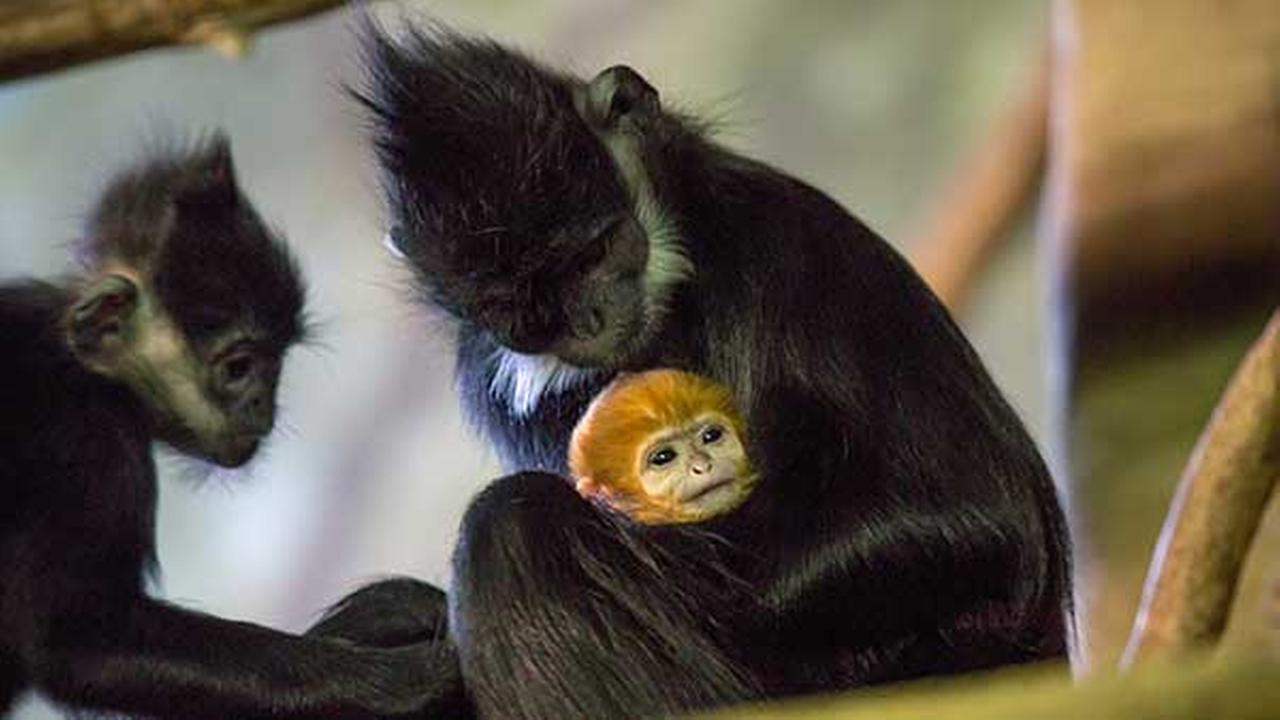 Lincoln Park Zoo welcomes endangered Francois' langur infant