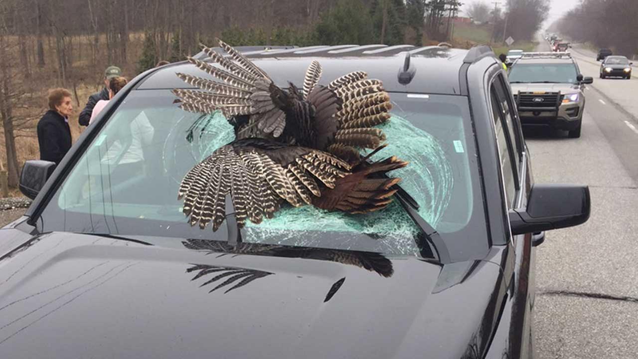30-pound wild turkey killed in crash with rental car in Indiana ...