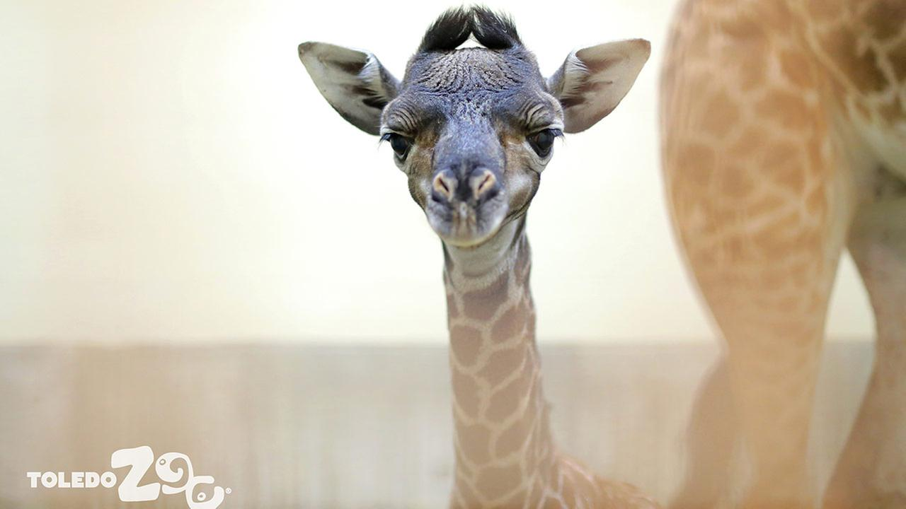 toledo zoo welcomes newborn giraffe kipenzi abc7chicagocom