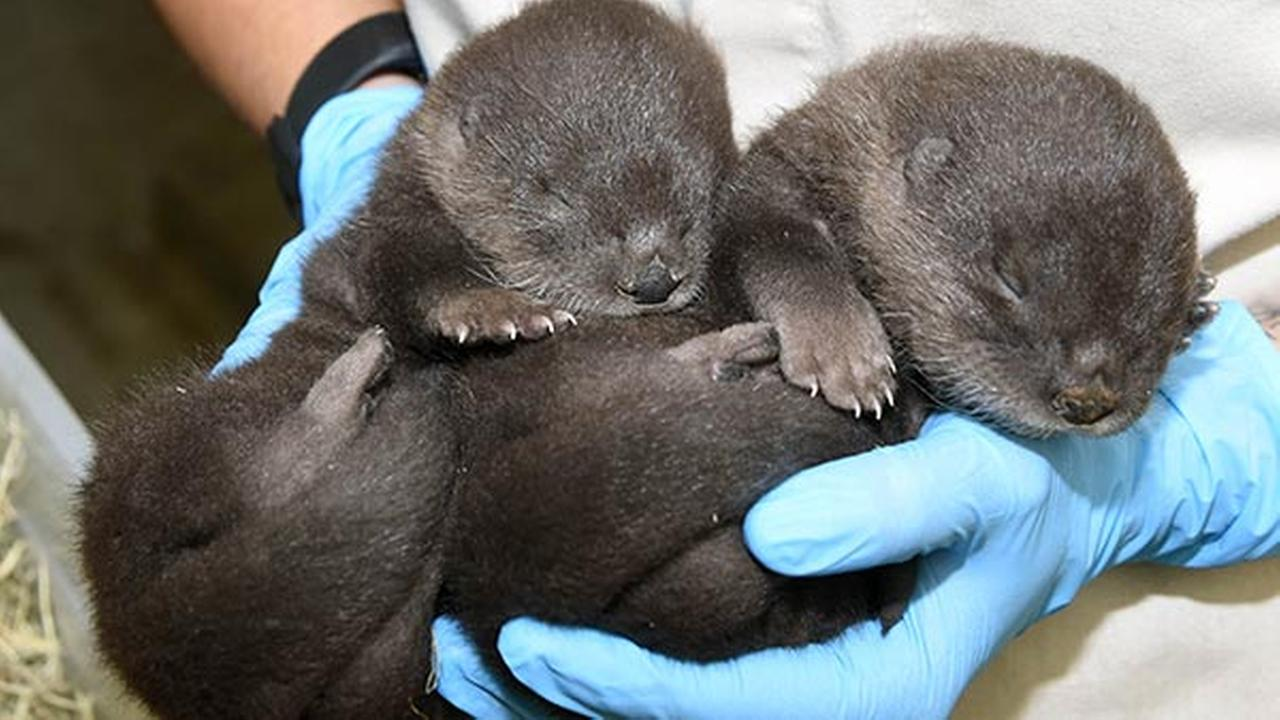 North American river otters born at Brookfield Zoo, 18 days old.