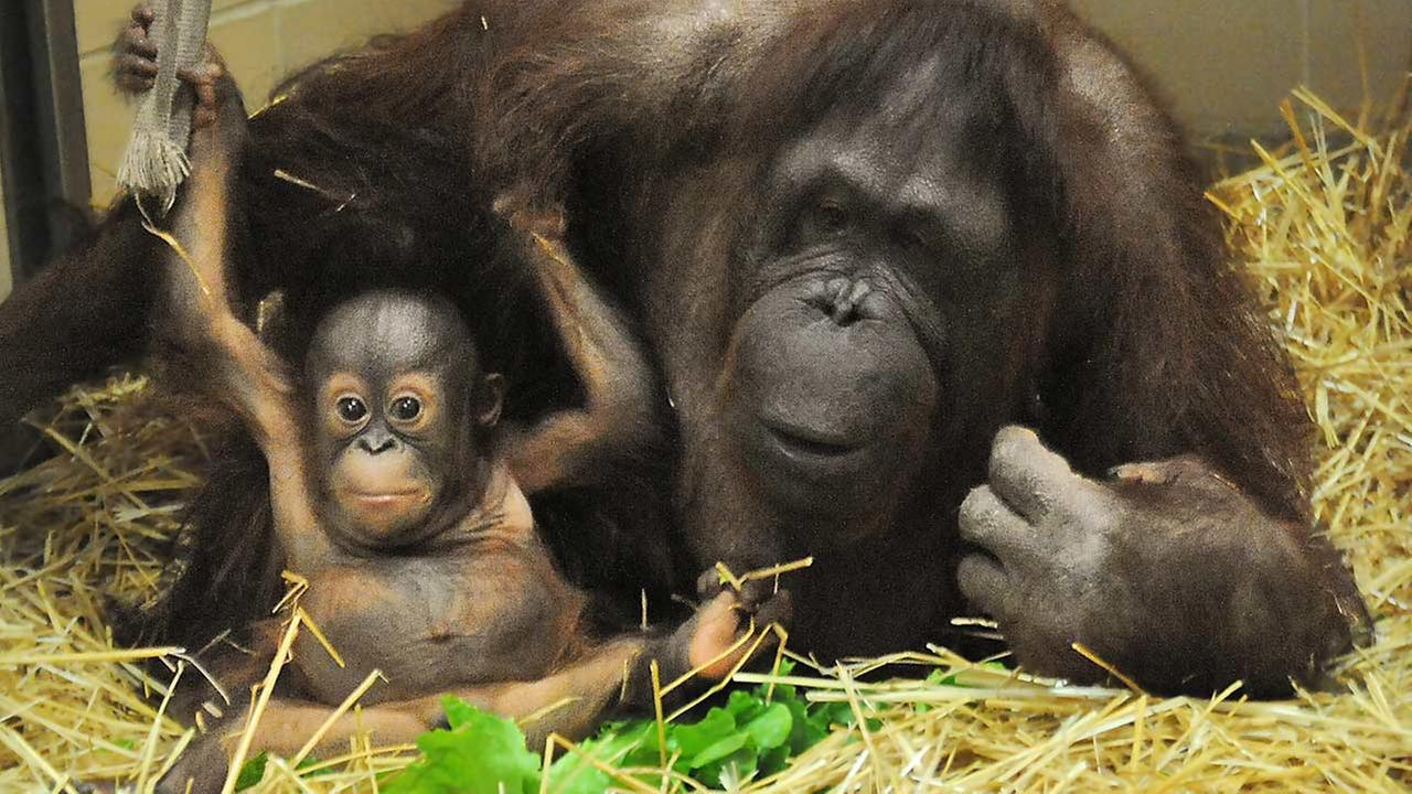 Kecil, 6 months, and his surrogate mother, Maggie, 53, at Brookfield Zoo,