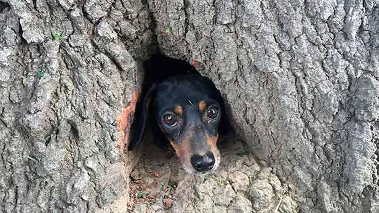In this photo provided by the Kentucky State Police, Rocco, a dachshund, peeks his head through the trunk of a tree in Salem, Ky., Thursday, June 1, 2017.