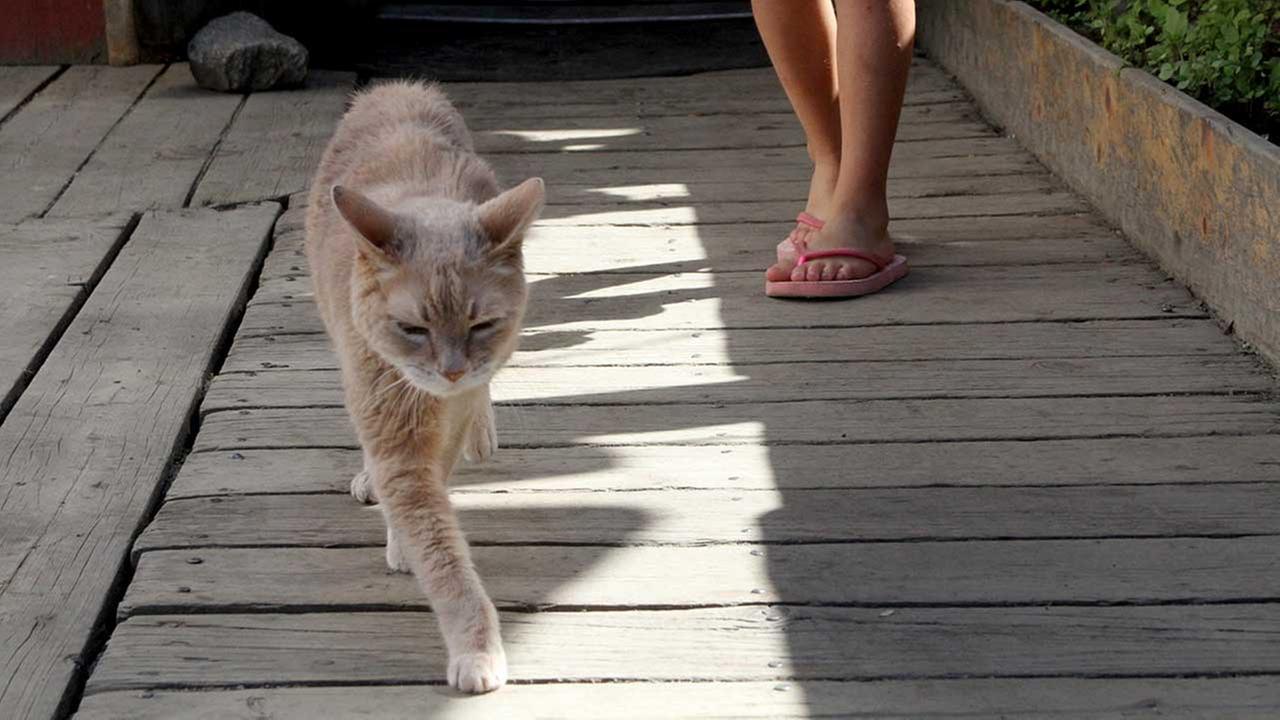 Stubbs, the honorary feline mayor of Talkeetna, Alaska,