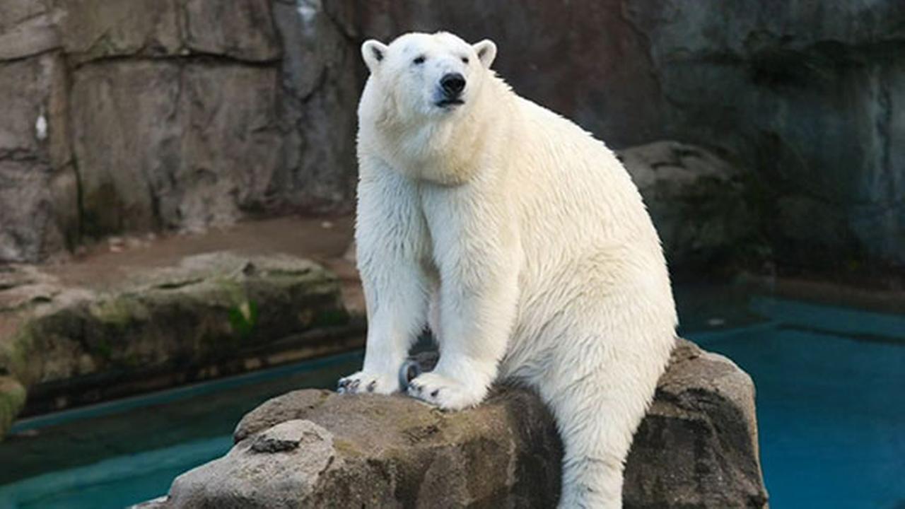 anana the polar bear says goodbye to lincoln park zoo