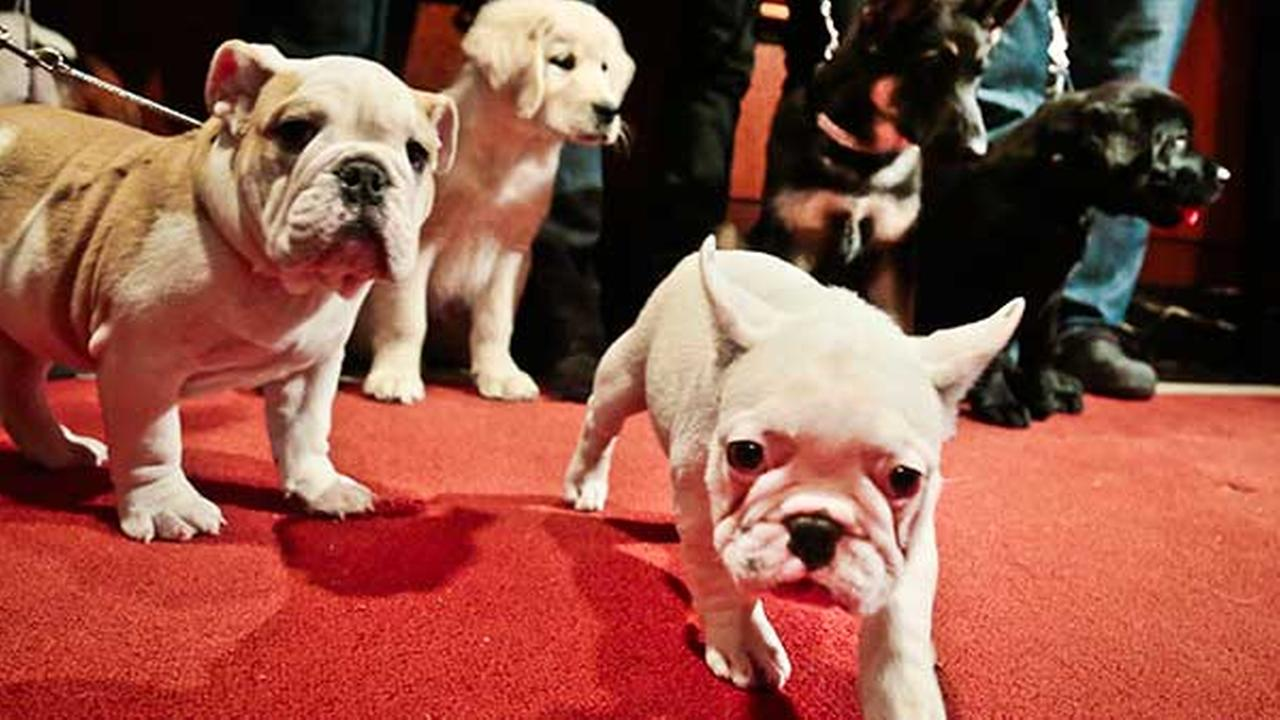 FILE: Puppies of some of the most popular dog breeds are shown off during a news conference at the American Kennel Club on Friday, Jan. 31, 2014, in New York.