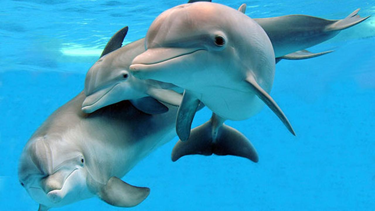Magic, Merlin and Tapeko, dolphins at Brookfield Zoo.