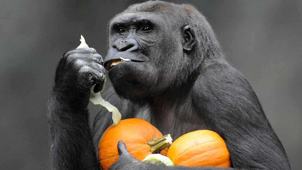 Kamba, a western lowland gorilla, hangs on to his pumpkin treats at Brookfield Zoo.