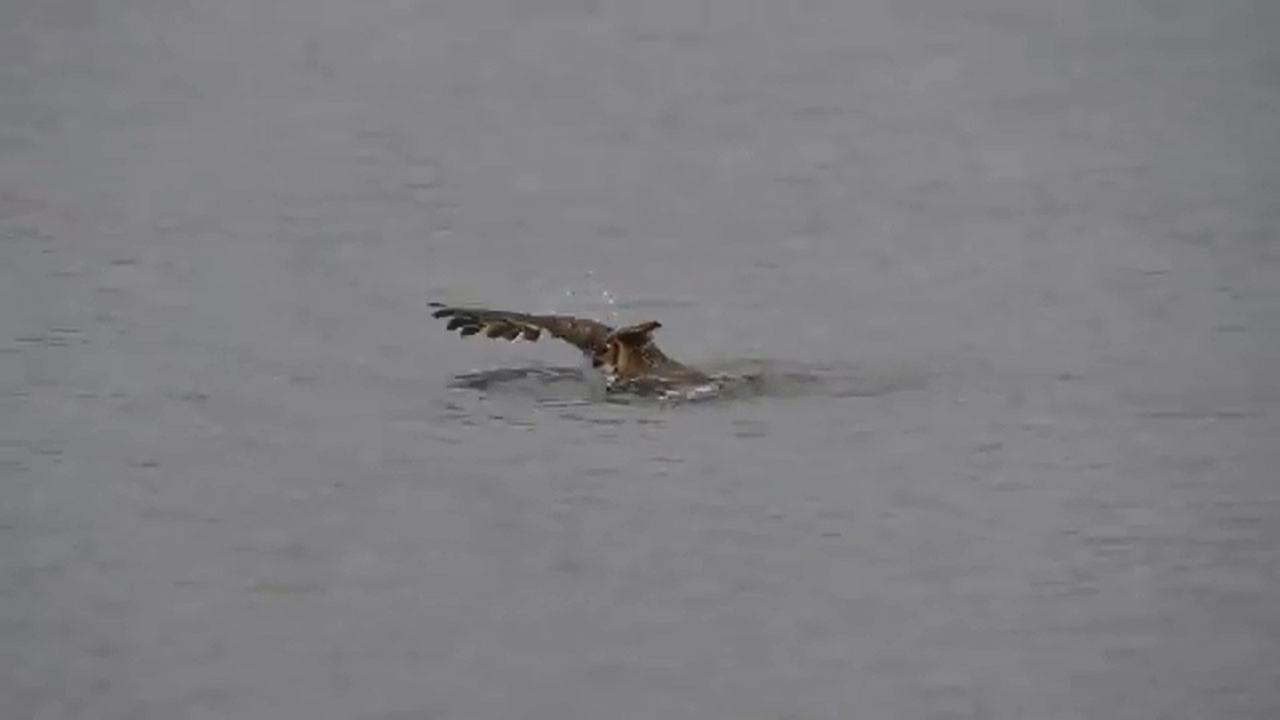 Owl swims in Lake Michigan to escape falcons