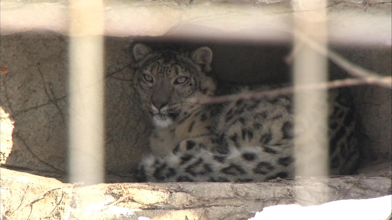 Dressing in layers helps combat the cold and nobody knows that better than Lincoln Park Zoos snow leopard.