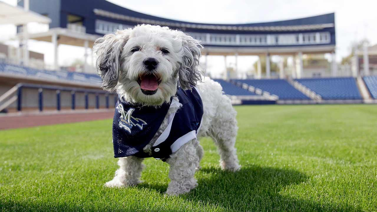 Milwaukee Brewers mascot, Hank, is at the teams spring training baseball practice in Phoenix.