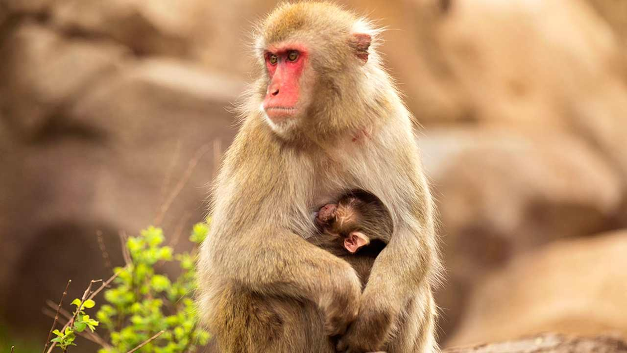 Female snow monkey Ono holds her new baby, born at Regenstein Macaque Forest on May 3.