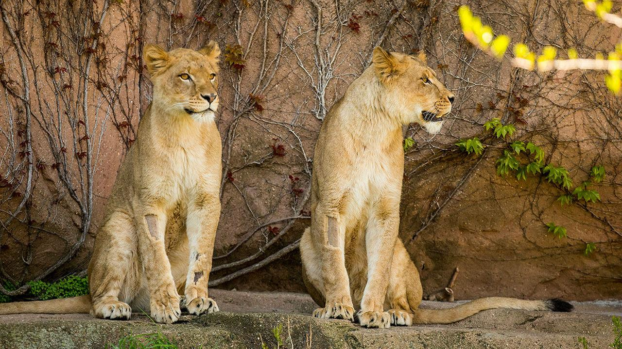 PHOTOS: Lincoln Park Zoo welcomes 2 lionesses