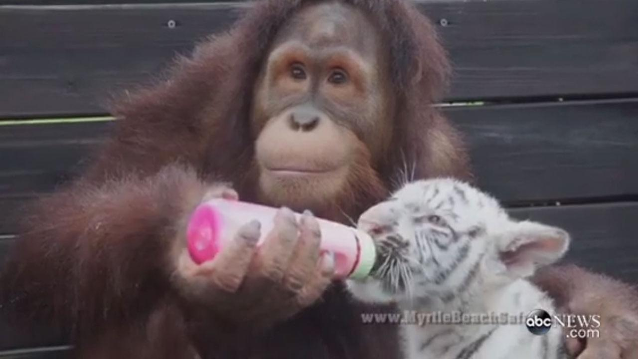 Suriya the orangutan bottle-feeds tiger cubs at the Myrtle Beach Safari preserve.