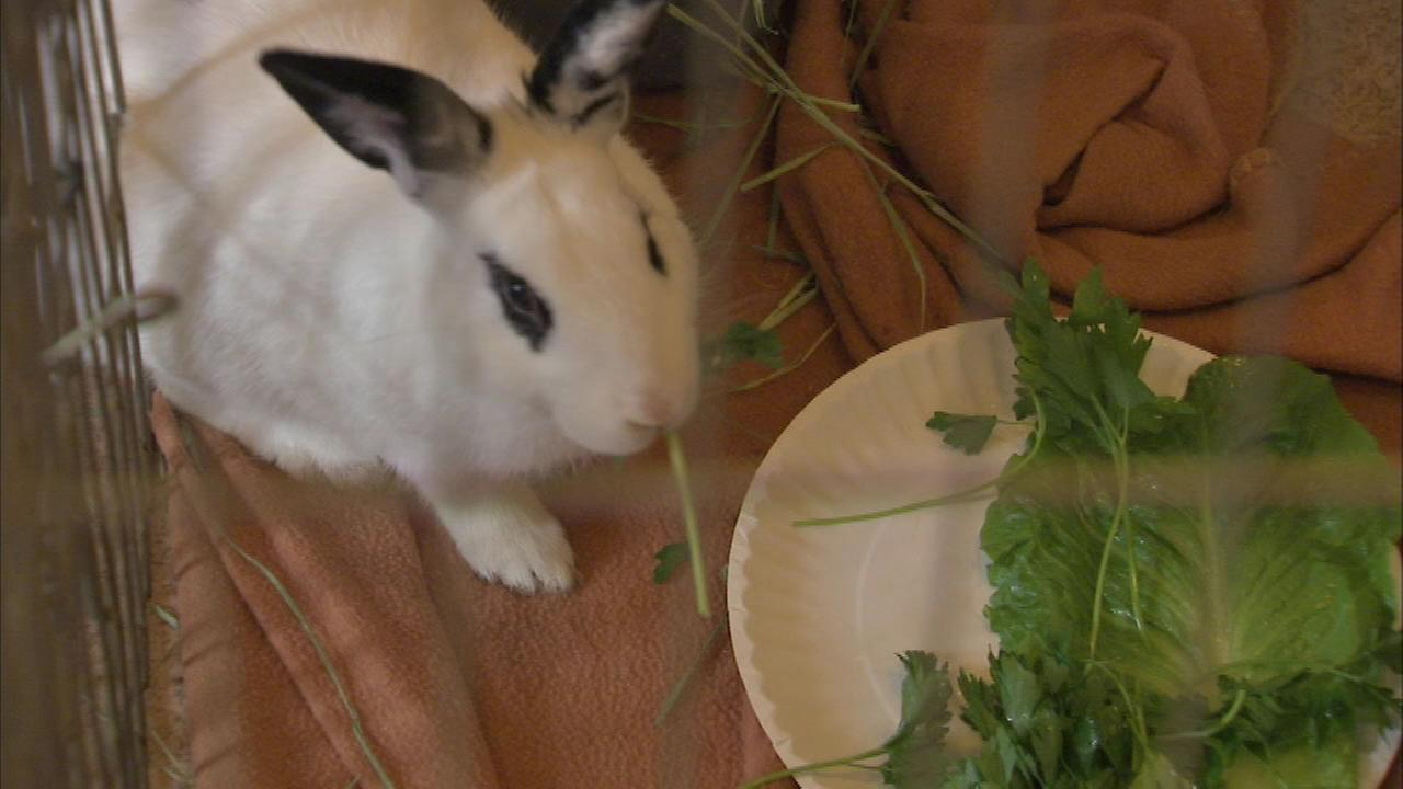 PHOTOS: Abandoned bunnies rescued from Northwest Side intersection