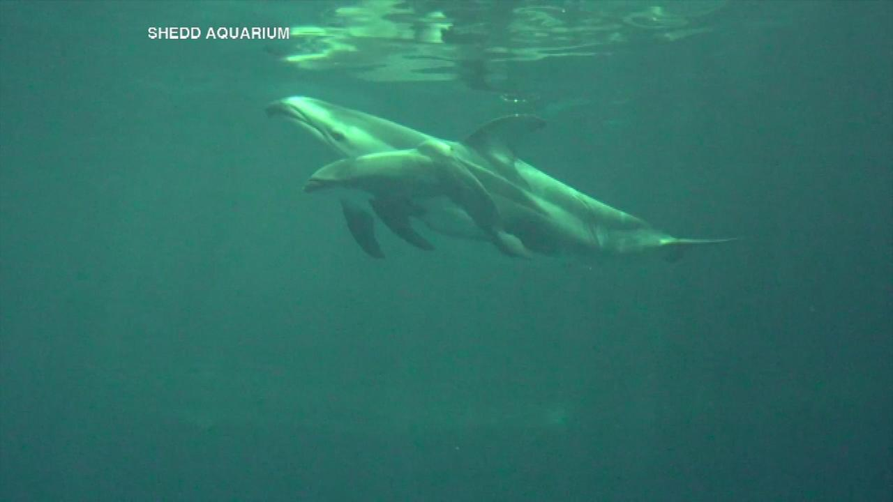 The Shedd Aquarium has welcomed a newborn dolphin to its family.