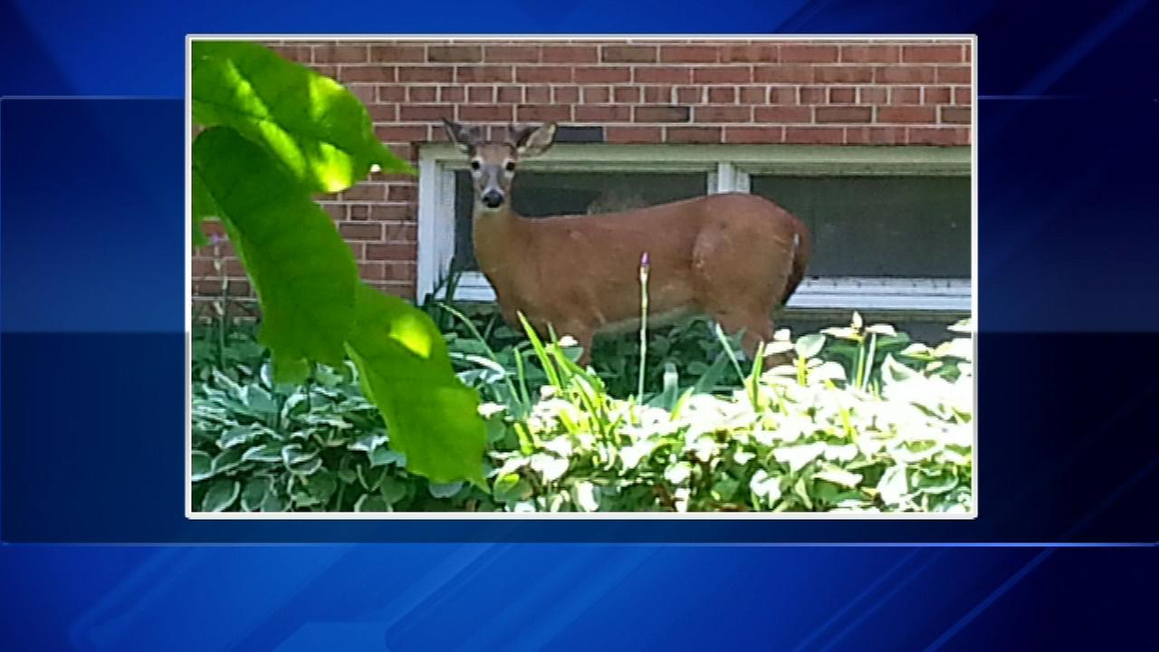 A deer was spotted in the backyard of a home in the 5700-block of N. Kenmore on Wednesday morning.
