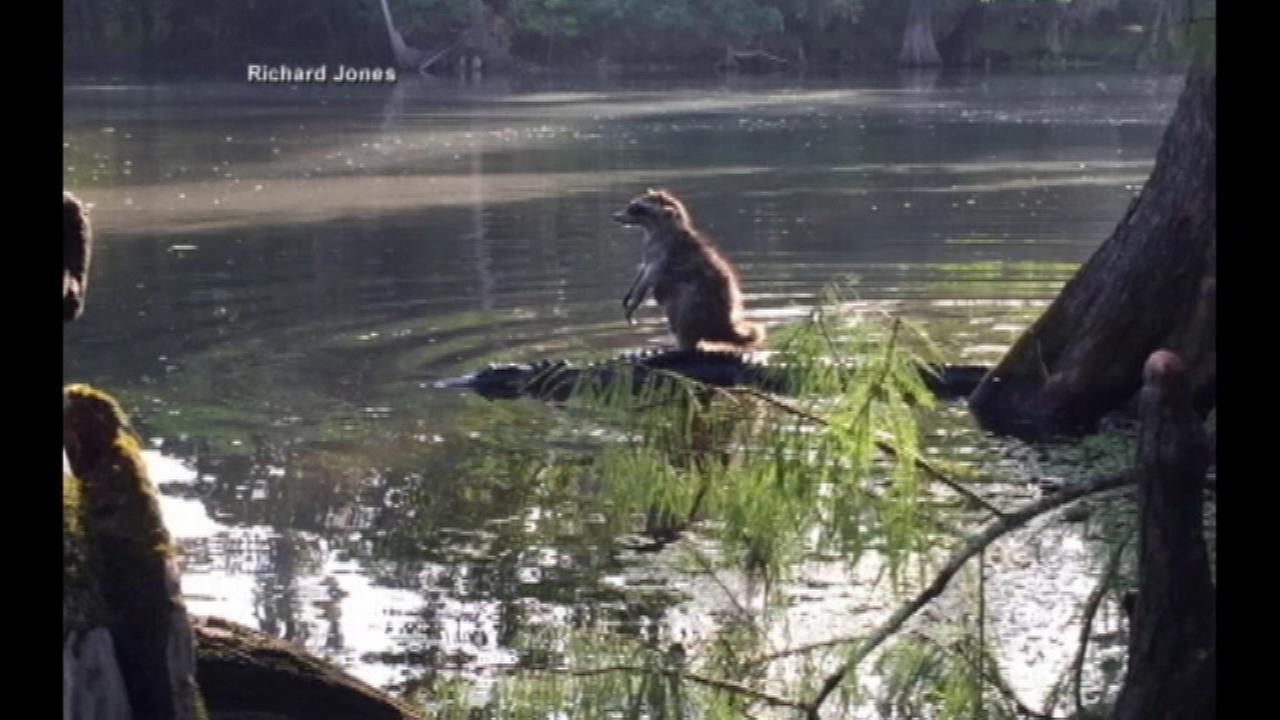 Raccoon jumps on alligator for once-in-a-lifetime photo