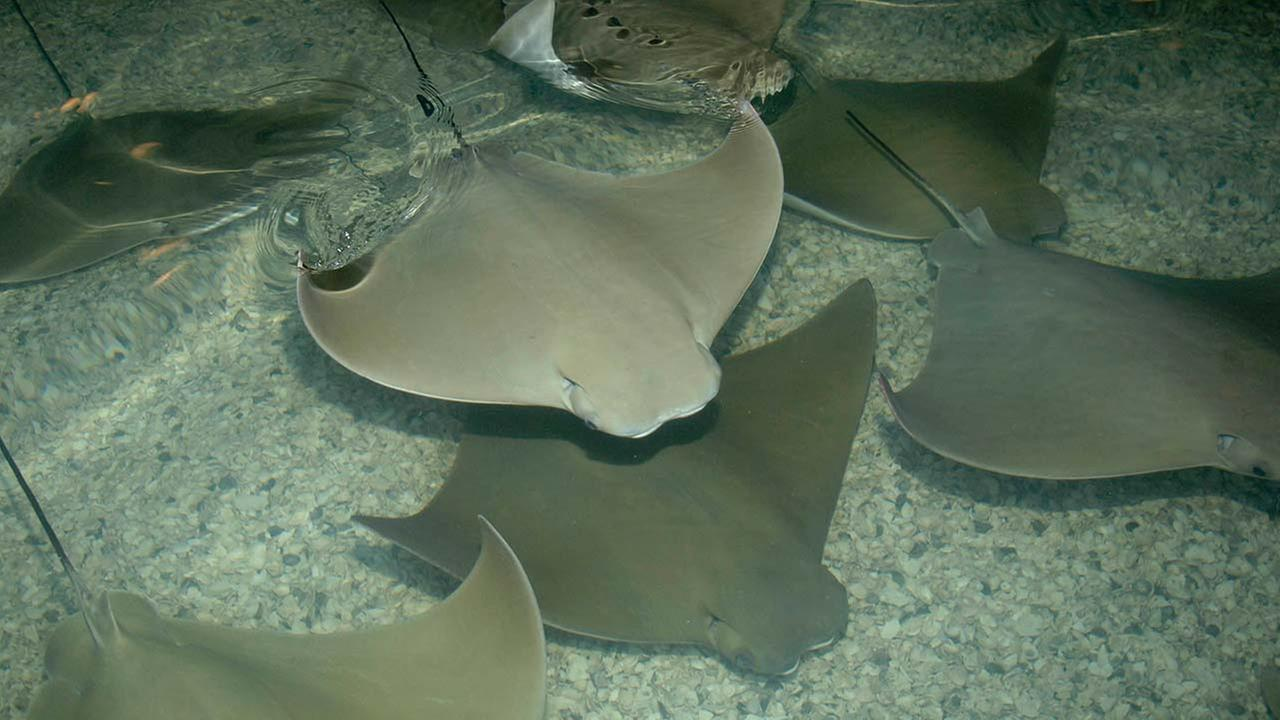 Cownose rays at the Brookfield Zoo.