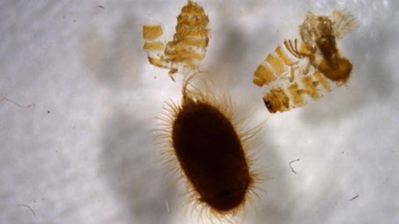 Khapra beetle cast skins.