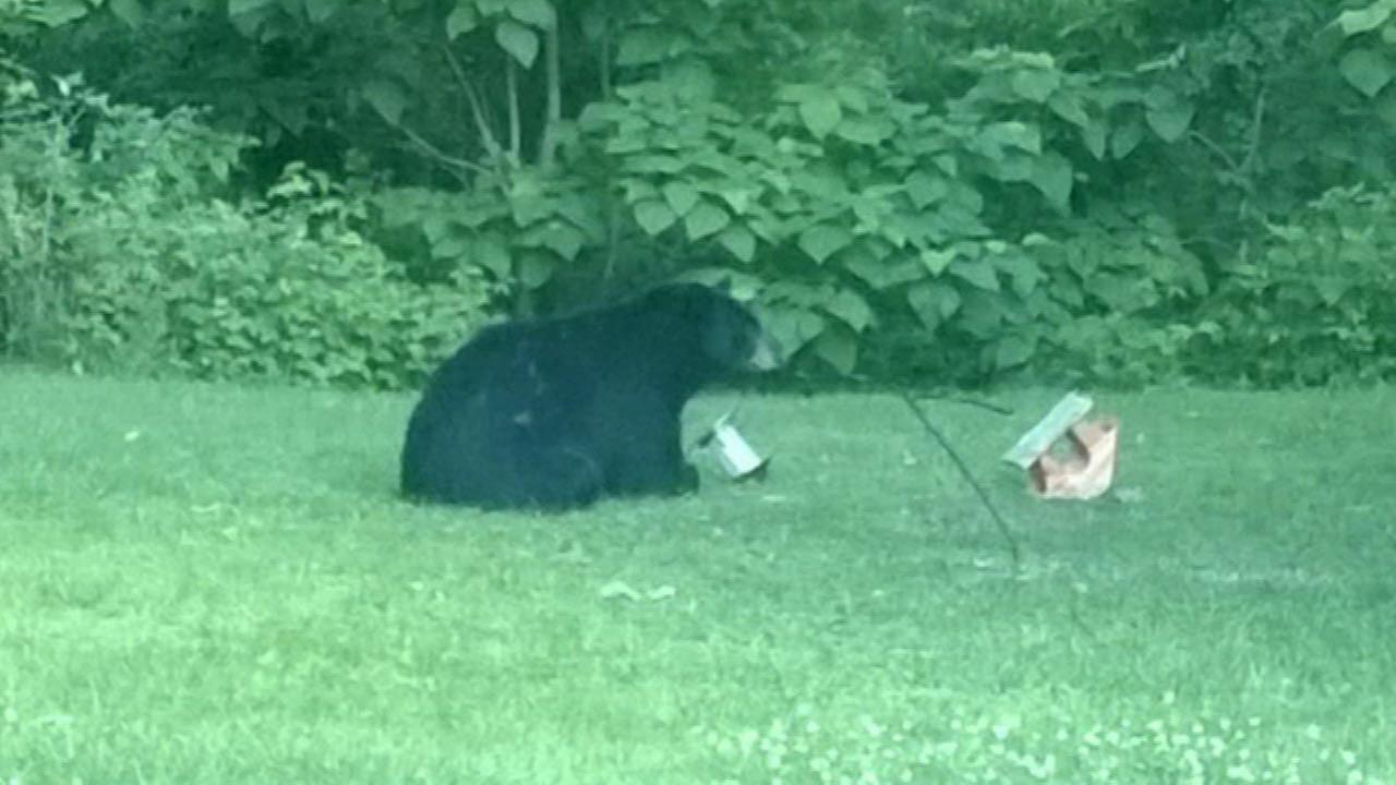 Black bear fattening up near Michigan City