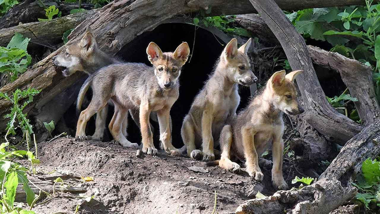 Mexican gray wolf puppies were born in May at the Brookfield Zoo.