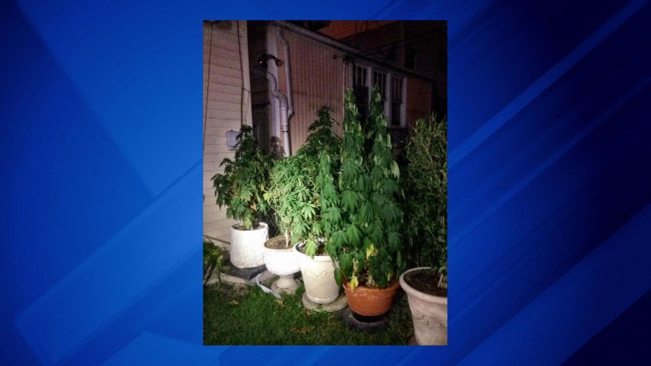 11 cannabis plants found in North Side yard, police say