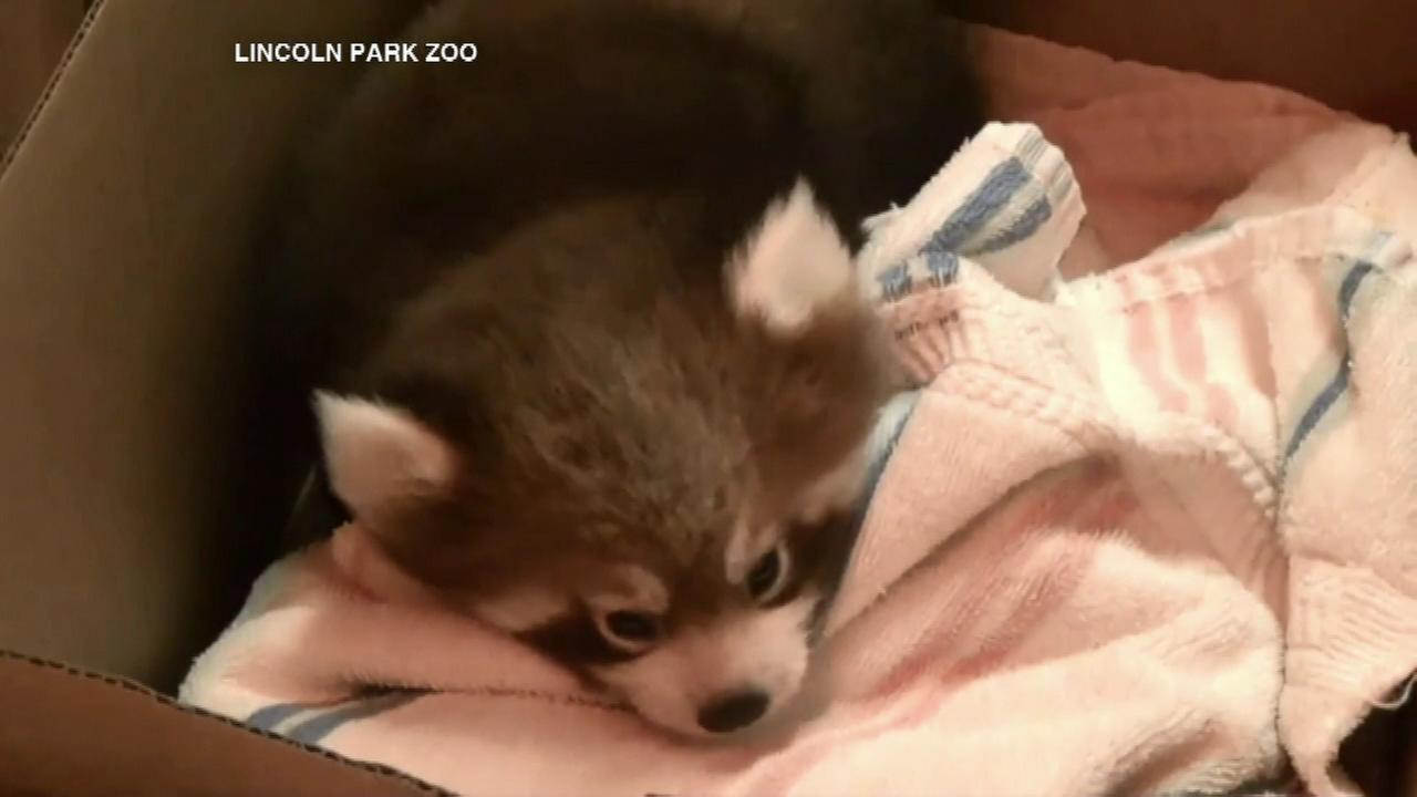 Lincoln Park Zoo red panda cubs could make debut soon