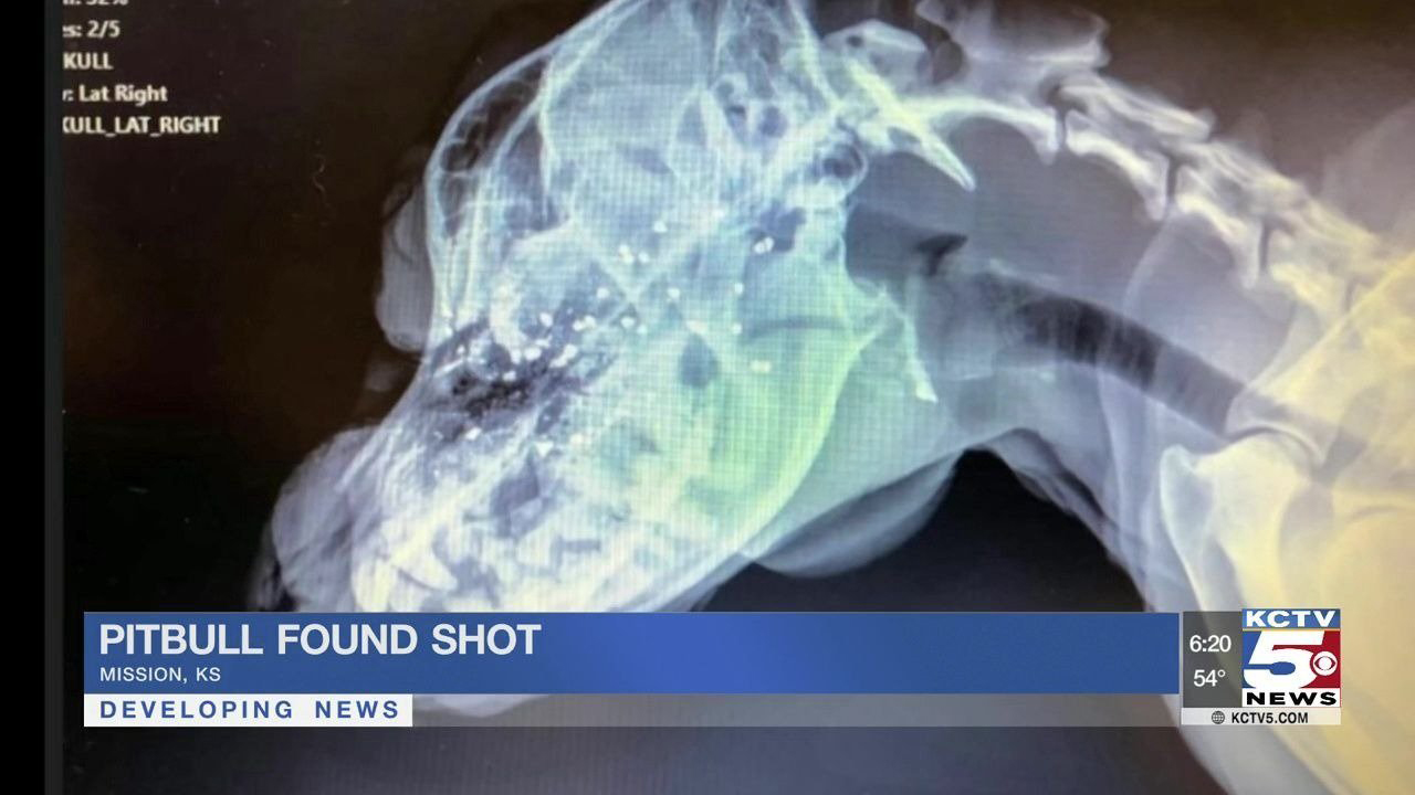 Gloria, a 2-year-old pit bull, was found near Slater, Missouri after someone shot her in the face.