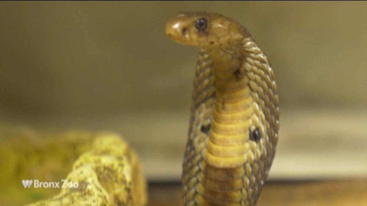 18-inch cobra found in shipping container in New Jersey