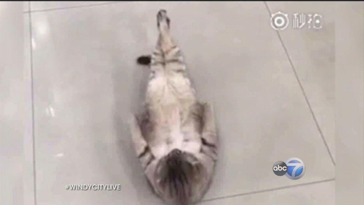 Cat does sit-ups, proves fitness is hard for everyone