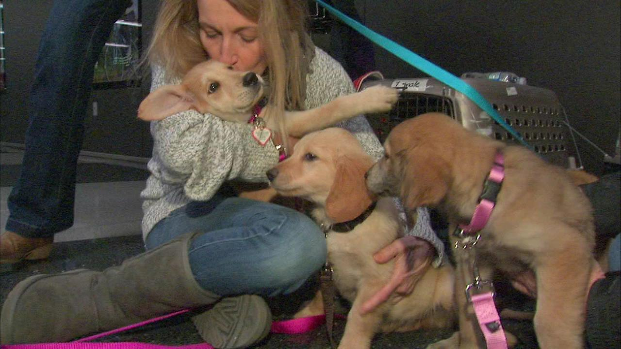 A rescued golden retriever and her puppies are now in Chicago and in search of a home.