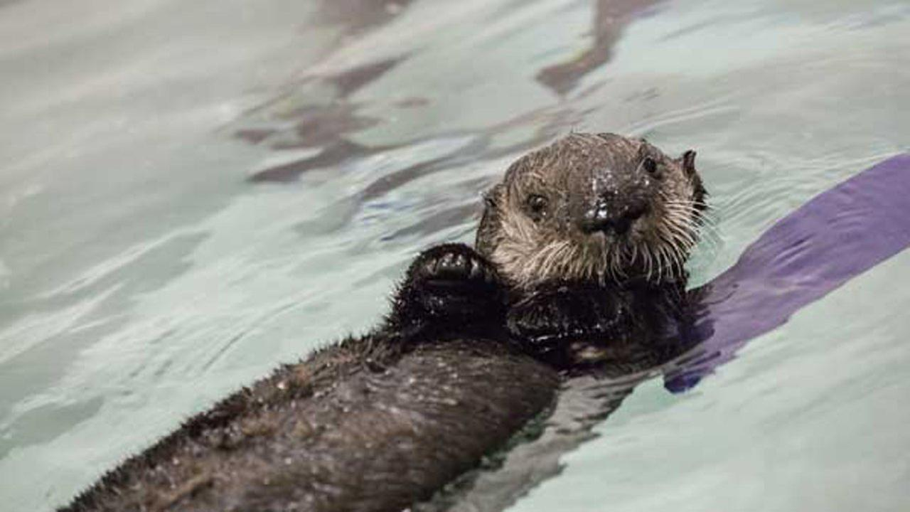 Chicago aquarium opens naming contest for sea otter pup rescued in Carmel